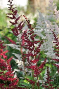 Астильба Арендса «Burgundy Red»