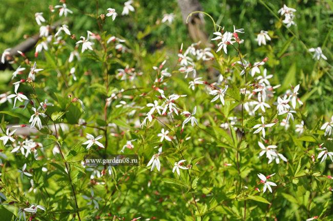 Гилления прилистниковая (stipulata)