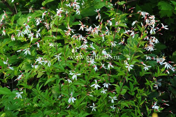 Гилления stipulata (прилистниковая)
