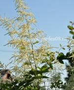 Волжанка двудомная (Aruncus dioicus)