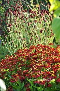 Гелениум 'Ruby Tuesday'