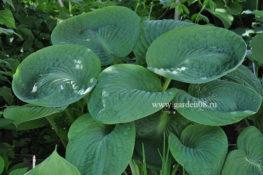 """Хоста """"Sea Lotus Leaf"""" в июне"""