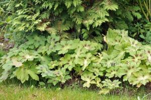 Герань темная «Springtime» (Спрингтайм), листва летом