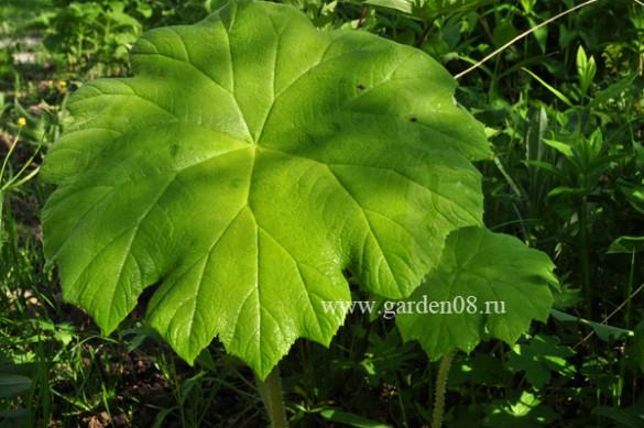 Астильбоидес (Astilboides)