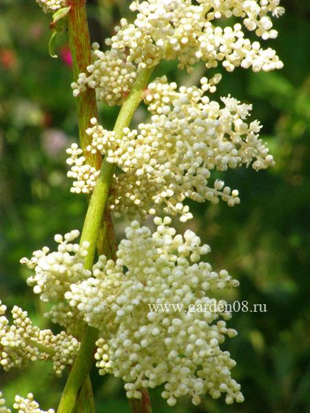 Астильбоидес пластинчатый, цветение