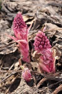 Белокопытник в начале цветения