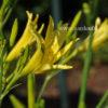 Лилейник citrina