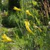 Лилейник citrina в саду
