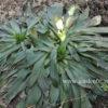 Наперстянка ferruginea gigantea