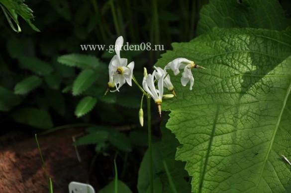 Додекатеон белый (Dodecatheon meadia alba)