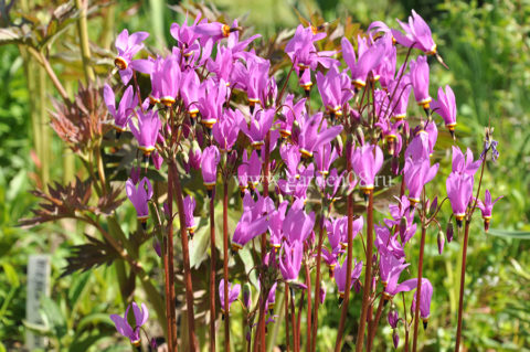 Додекатеон (Dodecatheon meadia)