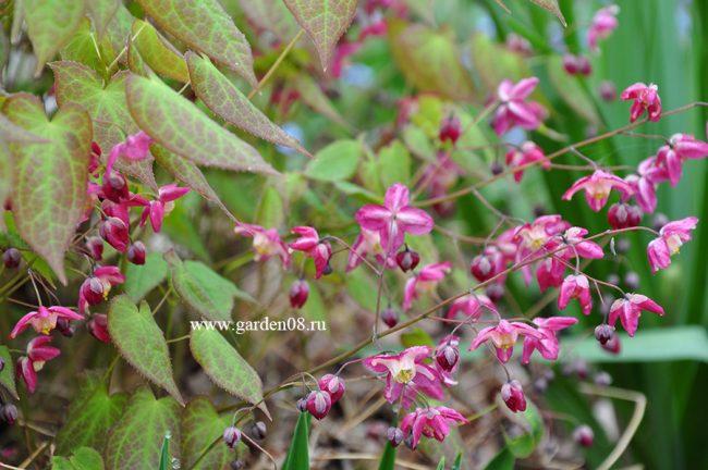 Горянка красная (Epimedium rubrum) в мае