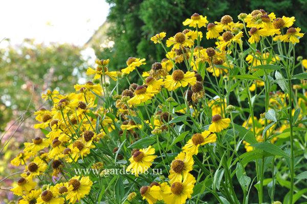 Гелениум осенний (autumnale)
