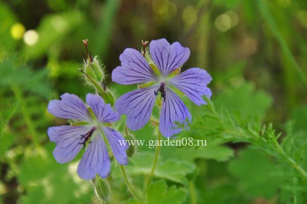 Герань Ренарда (Geranium renardi)