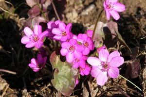 Печёночница розовая (Hepatica rosea)
