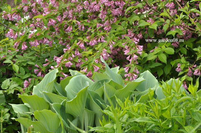 Хоста «Krossa Regal» на фоне вейгелы цветущей