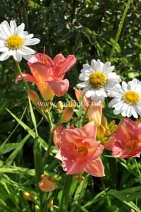 Лилейник розовый с ромашкой «Sunny Side Up»