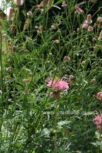 Монарда светло-розовая с кровохлебкой