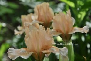 Ирис карликовый «Peach Ruffles»