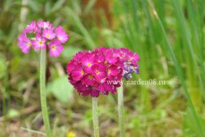 Примула мелкозубчатая розовая