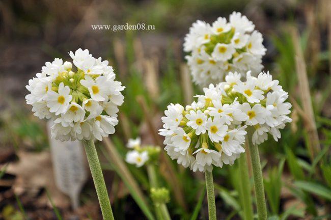 Примула мелкозубчатая белая (Primula denticulata var. Альба)