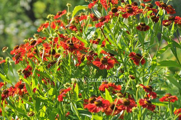 гелениум «Ruby Jewel»