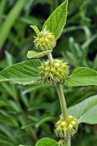 Зопник Расселла (Phlomis russeliana) в начала цветения