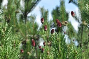 Кровохлёбка officinalis 'Tanna'