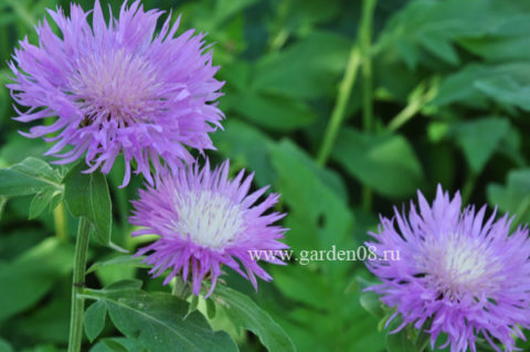 Василек (Centaurea)