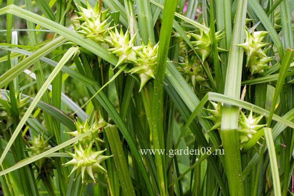 Осока Грея (Carex Grayi)