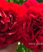 Пион травянистый, гибрид «Carol» (Кэрол)