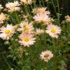 Chrysanthemum (Хризантема)