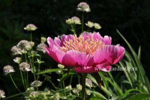 Пион травянистый «Colette Thurillet»