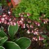 Гейхера «Geisha's Fan», цветение