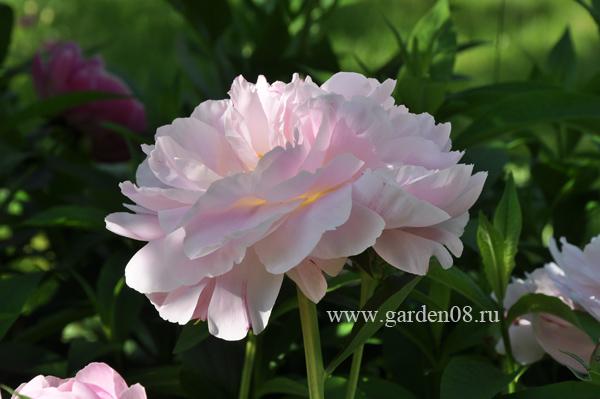Пион травянистый молочноцветковый «Gene Wild» (Джин Уайлд)