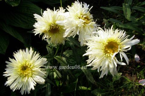 Leucanthemum × superbum «Goldrausch»
