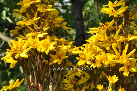 Бузульник (Ligularia)
