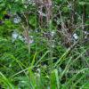 Мискантус китайский (Miscanthus sinensis)