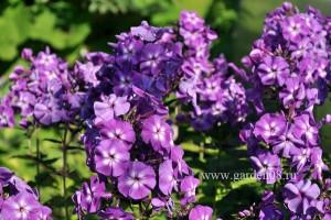Флокс метельчатый «Purple Kiss»