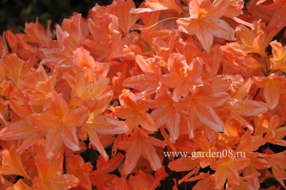 Рододендрон японский листопадный оранжевый