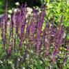 Шалфей дубравный (Salvia nemorosa)
