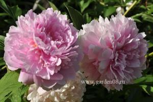 Пион травянистый «Сара Бернар» (Sarah Bernhardt)