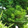 Туёвик (Thujopsis) поникающий