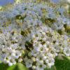 Карина гордовина (Viburnum lantana)