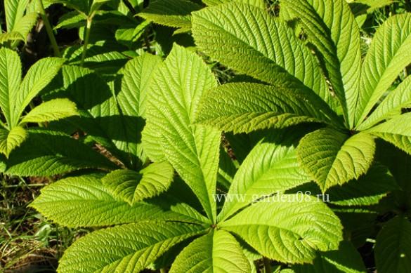 Роджерсия конскокаштанолистная (aesculofolia)