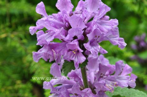 Буквица крупноцветковая (Betonica grandiflora)