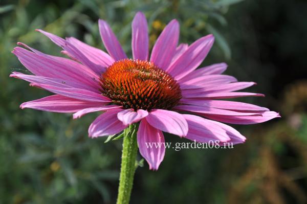 Эхинацея (Echinacea)