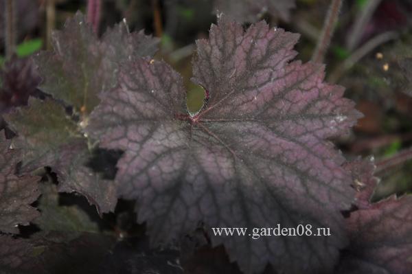 Гейхера «Frosted Violet»
