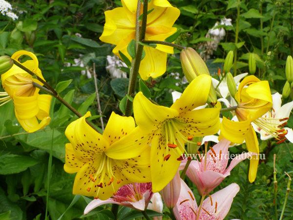 Лилия «Yellow Star» (lancifolium)