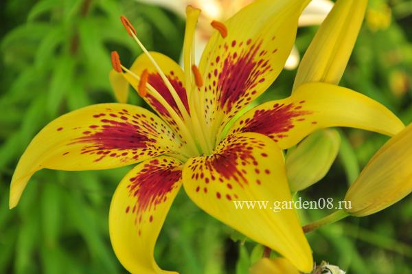 Лилии (Lilium)